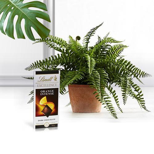 Botanical Air Purifier Bostern Fern Plant with Chocolate Bar