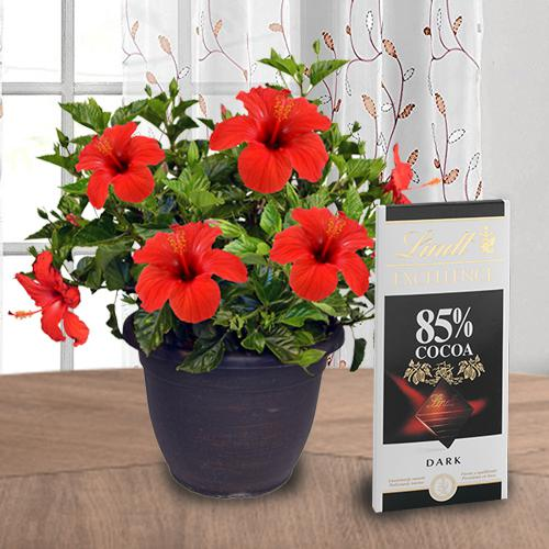 Attractive Combo of Hibiscus Plant with Chocolate