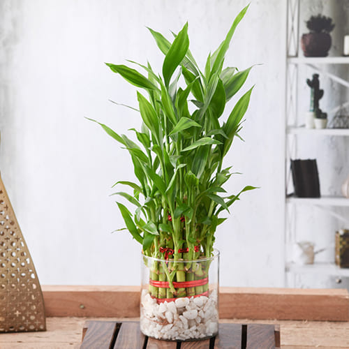 Captivating 3 Layer Good Luck Bamboo Plant in Glass Pot<br>