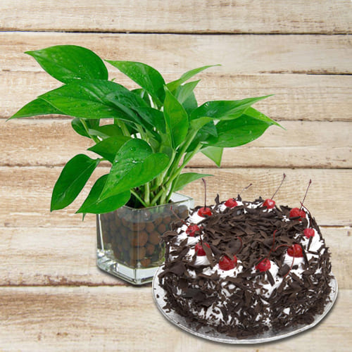 Delightful Combo of Money Plant in Glass Pot with Mouth Melting Black Forest Cake<br>