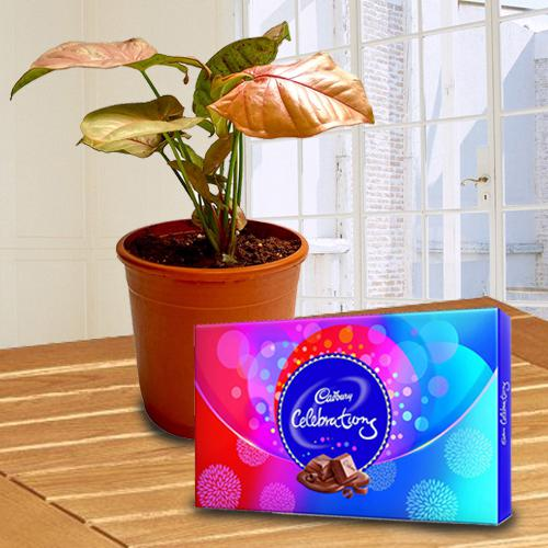 Splendid Indoor Decor Syngonium Plant with Chocolates